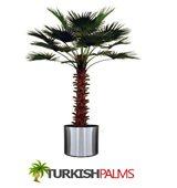 Turkish Palms